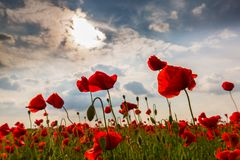 Beautiful poppy flowers isolated on beautiful sky background Royalty Free Stock Image