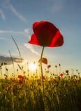 Beautiful poppy flowers  on beautiful sky background Stock Image