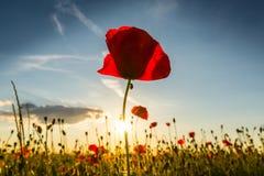 Beautiful poppy flowers  on beautiful sky background Stock Photo