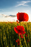 Beautiful poppy flowers  on beautiful sky background Royalty Free Stock Images