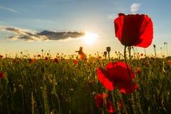 Beautiful poppy flowers  on beautiful sky background Royalty Free Stock Photo