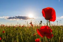 Beautiful poppy flowers  on beautiful sky background Royalty Free Stock Photography