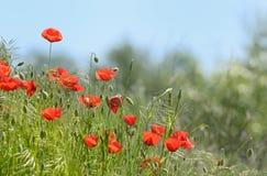 Wild poppy flowers Stock Image