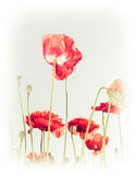 Wild poppy flowers on summer meadow. Floral background Royalty Free Stock Photography