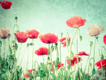 Wild poppy flowers on summer meadow. Floral background stock image