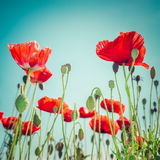 Wild poppy flowers on summer meadow. Floral background Stock Photo