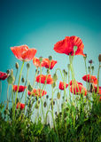 Wild poppy flowers on summer meadow. Floral background Stock Photography