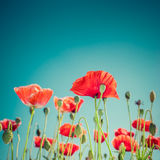 Wild poppy flowers on summer meadow. Floral background Stock Photos