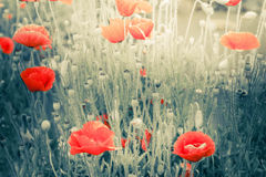 Wild poppy flowers on summer meadow. Watercolor painting effect royalty free stock images