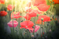 Wild poppy flowers on summer meadow. Watercolor painting effect Royalty Free Stock Image