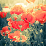 Wild poppy flowers on summer meadow. Watercolor painting effect Stock Photo