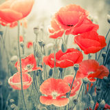 Wild poppy flowers on summer meadow. Watercolor painting effect Stock Image