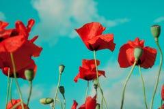 Wild poppy flowers is under blue sky Royalty Free Stock Photo