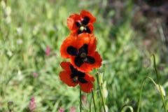 Wild poppy Royalty Free Stock Photography