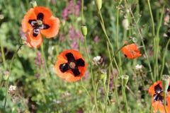 Wild poppy Stock Images