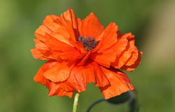 A wild poppy on the Orkney Islands. Royalty Free Stock Photography