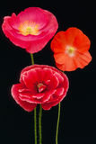Poppies trio  (Papaver rhoeas) Stock Images