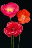 Poppies trio  (Papaver rhoeas) Stock Images