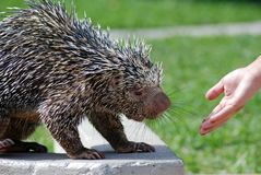Wild Porcupine Eating. Wild porcupine being hand fed Royalty Free Stock Photography
