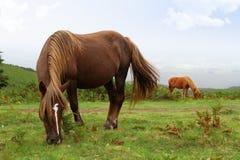 Wild pottok horses. Two wild pottok horses in a field Stock Photo