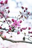 wild äppleblomning Arkivbild