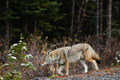 Wild prärievarg Royaltyfri Foto
