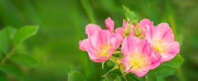 Wild praire rose panoramic Royalty Free Stock Image