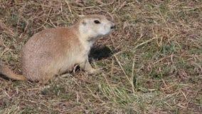 Wild prairie dog stock video footage