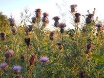 Wild prairie grasses. Natural prairie wild grasses and flowers habitat Royalty Free Stock Photo