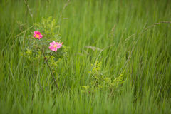 Wild prairie rose (Rosa arkansana). Horizontal image of prairie roses against a green grass background stock images