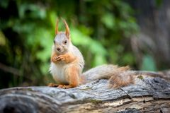Wild pretty squirrel sitting on log Stock Photography