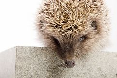 Wild prickly hedgehog with close - up muzzle sitting on a stone on a white background. stock image