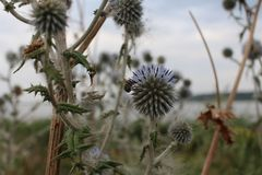 Wild and prickly impatiens - flowers of a thistle stock images