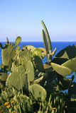 Wild prickly pear plant. A wild prickly-pears plant in front of the sea Royalty Free Stock Photo