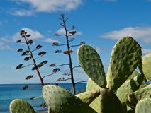 Wild prickly pears cacti outside. Macro of prickly pears cacti in wild nature stock photos
