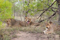 Wild Pride of lions  in national Kruger Park in UAR Royalty Free Stock Photo