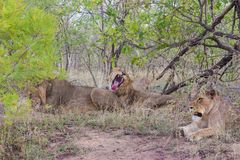 Wild Pride of lions  in national Kruger Park in UAR Royalty Free Stock Photos