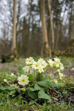 Wild Primrose Royalty Free Stock Images