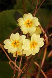 Wild Primrose (Primula Vulgaris). Three beautiful soft primroses captured just after a shower of rain Royalty Free Stock Photo