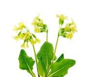 Wild primroses. Yellow spring primroses, isolated on white background Royalty Free Stock Photos