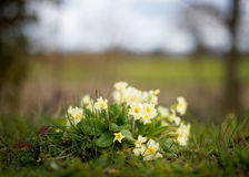 Wild Primroses. A bunch of pretty primroses growing wild in the springtime in Norfolk, England. Fields and sky can be seen defocused in the background Royalty Free Stock Photos