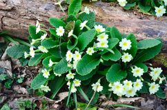 Wild Primroses in forest Stock Photos