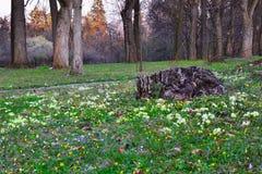 Wild primroses Royalty Free Stock Photo