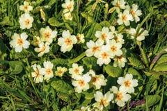 Wild Primroses - Primula vulgaris, Croome Park, Worcestershire. Wild Primroses - Primula vulgaris growing in Croome Park, Worcestershire, England Royalty Free Stock Photos