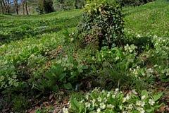 Wild Primroses (Primula Vulgaris) in a UK woodland. Royalty Free Stock Images