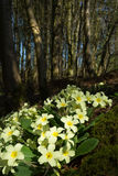 Wild Primroses (Primula vulgaris) in a woodland setting Stock Photography