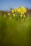 Wild Primula Stock Images