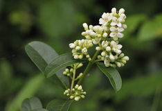 Wild Privet Flower Royalty Free Stock Images