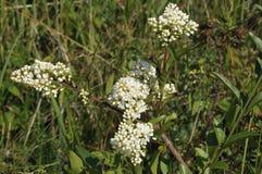 Wild Privet flowers Stock Photo