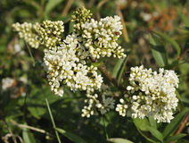Wild Privet flowers Stock Photo